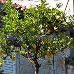 Aromatic lemon tree