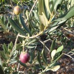Croatian olive tree